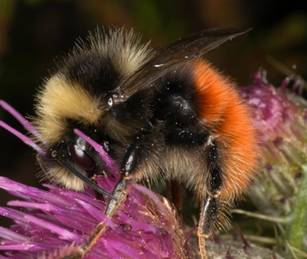 Bilberry-bumblebee-c-Moors-for-the-Future