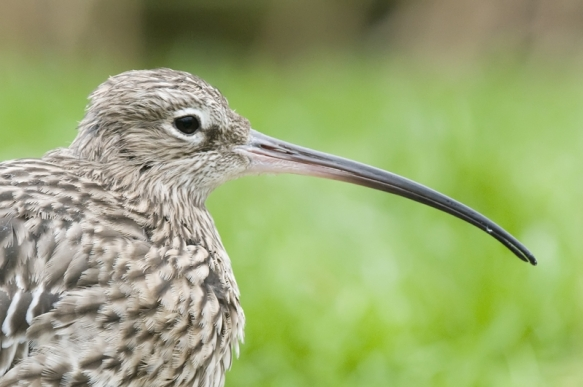 Curlew (c) Paul Shaw