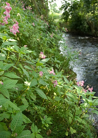 Himalayan Balsam invading a stream bank
