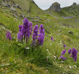 Early-purple-orchids-in-Cressbrook-Dale
