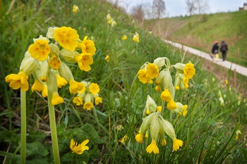 Cowslips and other wildflowers create natural displays beside the Tissington Trail