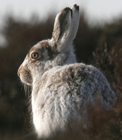 Mountain-hare