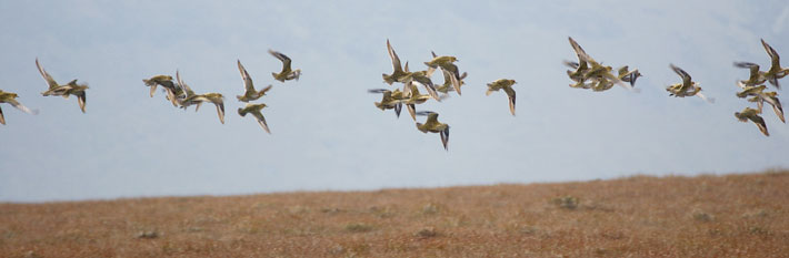 Golden plover in flight over the Peak District moors; these birds rely on healthy uplands to breed