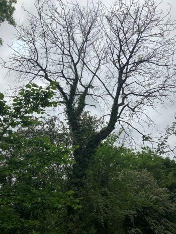 Tree affected by ash dieback